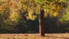 Autumn leaves fall from pecan tree Stock Footage