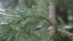 Thuja tree icy, freezing rain Stock Footage