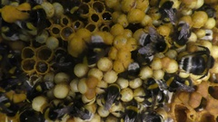 Beehive of earth bumblebee, Bombus terrestris, social insects Stock Footage