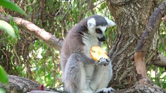 Lemur in a tree eating fruit Stock Footage