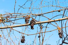 Red grapes dry in the vineyard in sunny day Stock Photos