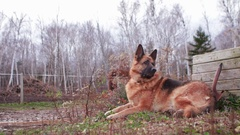 German Shepherd sits and watches in a rural location Stock Footage