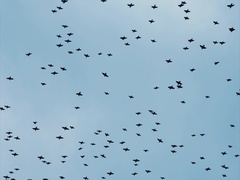 Birds flying large flock in the sky Nature harmony concept Stock Footage