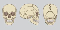 Human Skull Anatomy Pack Vector Stock Illustration
