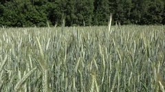 Wheat rye ear move in wind in agriculture field near forest trees. 4K Stock Footage