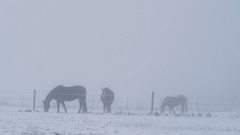 Horses on a snowy paddock on a foggy day Stock Footage