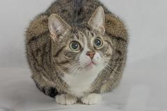 Gray and white tabby cat Stock Photos