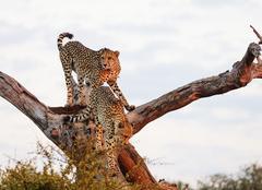 Cheetah (Acinonyx jubatus), Kruger National Park Kuvituskuvat