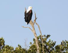 African sea eagle (Haliaeetus vocifer) Stock Photos
