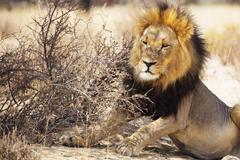 Resting lion in Kgalagadi Transfrontier Park Stock Photos