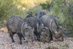Adult javalinas in the Sonoran Desert suburbs of Tucson Stock Photos