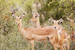 Impala antelope in Kruger National Park Stock Photos