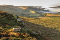Sheep and the valley with temperature inversion fog Stock Photos