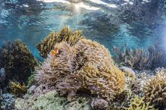 False clown anemonefish Stock Photos