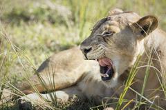 African lion Stock Photos