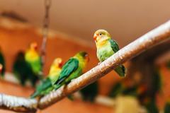 Lovebird sitting on a perch Kuvituskuvat