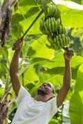 A man harvests bananas in Castara Bay Stock Photos