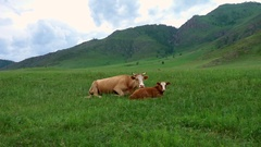 Cow with her calf lying and resting in a meadow Stock Footage