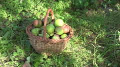 Fruiter tree branches and basket full of pear fruits under it in orchard garden Arkistovideo