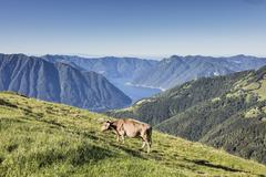 Cow in the green pastures with Lake Como Stock Photos