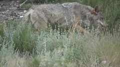 Slow motion of wolf walking, side view, flat color Stock Footage