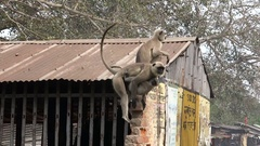 Mom hanuman monkey with attacked baby are running through the street Stock Footage