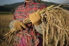 A woman harvests rice by hand with a sickle Stock Photos