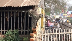 A few hanuman monkeys sitting on the rooftop in the city Stock Footage