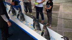 The penguin feeding show at Khao Kheow Open Zoo Stock Footage