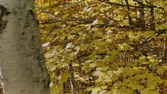 Birch yellow leaves with slider Stock Footage