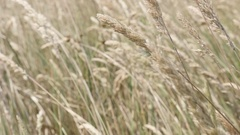 Wild yellow wheat on the wind shallow DOF slow-mo Stock Footage