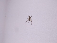 Short clip of a small spider eating a mosquito. Stock Footage