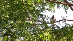 Cute bird, a male house sparrow chirping on the tree Stock Footage