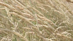 Yellow wide wheat on the wind shallow DOF slow-mo Stock Footage