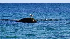 Sea Gull bird in stone, around the blue sea Stock Footage