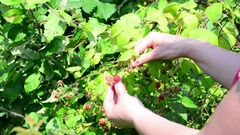 Woman reaps a crop of raspberries in garden Stock Footage