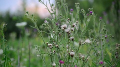 Camera movement along the meadows with pink sow thistle Stock Footage