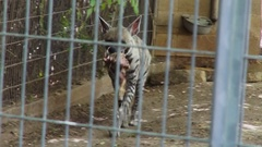 Striped Hyena in zoo Stock Footage