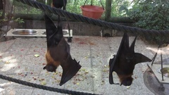 Fruit bat at the Zoo Stock Footage