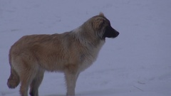 Beautiful dog in snow protect house homeless animal in cloudy winter cold day Stock Footage