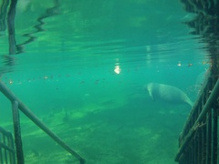 Florida Underwater view of swimming manatee at the St John's River in Florida Stock Footage