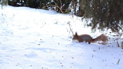 Little squirrel running on snow in winter forest Stock Footage