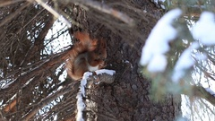 Red squirrel eating pine tree seeds in winter Stock Footage