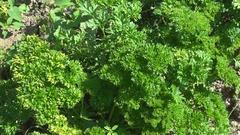Farmer hand take green persil leaf in organic raw food fresh vegetarian parsley Stock Footage