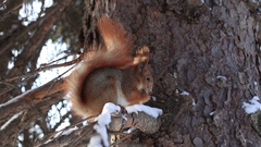 Red squirrel on pine branch eating nuts in winter Stock Footage