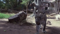 Leopard walking in the aviary Stock Footage