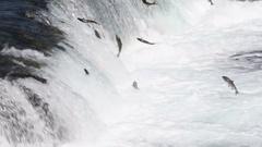 Sockeye salmon jumping Stock Footage
