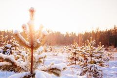 Sunset Sunrise In Sunny Winter Snowy Forest. Sun Shine Over Winter Kuvituskuvat