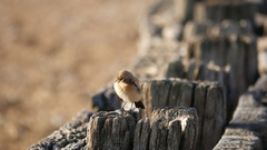Desert Wheatear at Normans Bay Beach, UK Stock Footage