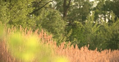 Sunset Through the Reeds. Silver feather grass swaying in wind Stock Footage